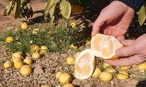 récolte citrons gelés
