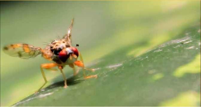 mouche méditerranéenne ou ceratitis capitata